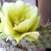 Види кактусів