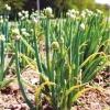 Види багаторічних луків для зелені