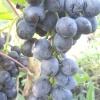 Виноград чорна вишня