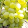 Виноград елизавета