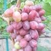 Виноград граф Монте-Крісто
