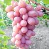 Виноград гурман ранній