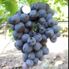Виноград хаджі мурат