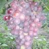 Виноград імпульс
