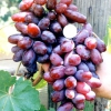 Виноград родзинка