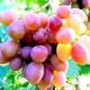 Виноград - ягода життя