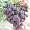 Виноград Каліста