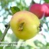 Шкідники яблунь і груш