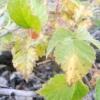Шкідники малини особливо небезпечні для врожаю - як з ними боротися?