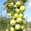 Усе про «струнких» колонновидних яблунях і грушах