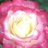 Вибираємо сорт: персикові троянди