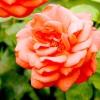 Вибираємо сорт троянди: флорибунда, плетистая, шраб?
