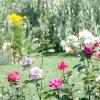 Вибираємо сорт: троянди незвичайних квітів