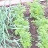 Вибираємо сусідів моркви для гарного врожаю. вирощуємо насіння моркви
