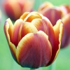 Вигонка тюльпанів