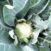 Вирощування цвітної капусти