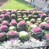 Вирощування декоративної капусти