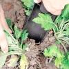 Вирощування хризантем