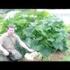 Вирощування кабачків і цукіні