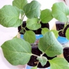 Вирощування розсади баклажанів