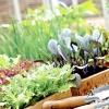 Вирощування розсади: коли сіяти овочі?