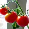 Виростити кімнатні помідори (дрібноплідні томати-черрі), насіння, сорти, правильний догляд