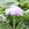 Висадка та вирощування агератума у відкритому грунті