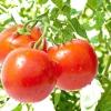 Висадка розсади томатів: 8 корисних відеосюжетів