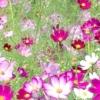 Чудова квітка космея для вашого саду