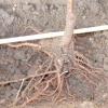 Заповнення посадочних ям для саджанців плодових дерев на легких ґрунтах
