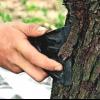 Захистити кору дерев від опіків, лікування кори від чорного раку, цитоспороз, всихання