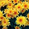 Здоров'я від хризантеми