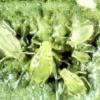 Зелена яблунева попелиця