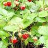 Суниця лісова - лікувальні властивості, рецепти, застосування
