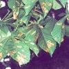Жовта і коричнева плямистість листя каштана