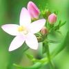 Золототисячник малий - лікувальні властивості, рецепти