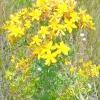 Звіробій (звіробій трава) - властивості, лікування, рецепти