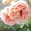 15 Кращих романтичних троянд