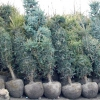 4 Помилки при посадці хвойних рослин