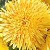 6 Найкрасивіших хризантем осіннього балу 2013