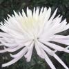 8 Корольов балів хризантем Нікітського ботанічного саду