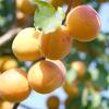 Абрикос, або вірменське яблуко