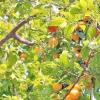 Абрикосове дерево