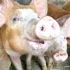Африканська чума свиней - чим вона небезпечна, як виявляється, і чи можна вберегти тварин від зараження?