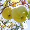 """Айва - """"благородне яблуко"""""""