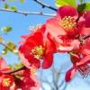 Айва японська: догляд, вирощування та сорту чагарнику хеномелес