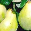 Айва: корисні і шкідливі властивості
