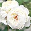 Англійські троянди Девід Остін