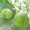 Біла сапоте (casimiroa edulis)
