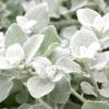 Безсмертник / helichrysum